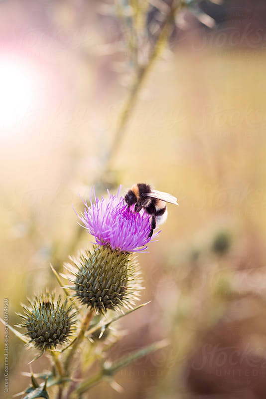 bumblebee on thistle by Canan Czemmel for Stocksy United