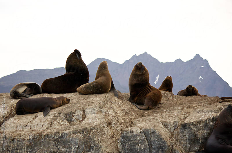 Beagle Channel sea lions by Jon Attaway for Stocksy United