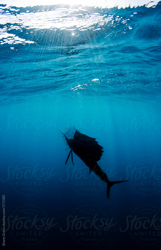 Sailfish in Silhouette by Shane Gross for Stocksy United