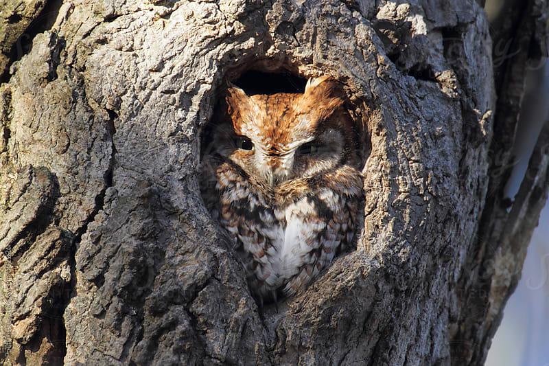 Eastern Screech Owl by Paul Tessier for Stocksy United