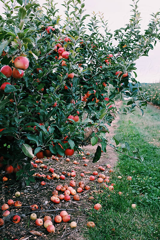Fresh apples in an apple orchard field during the Autumn and Fall season by Greg Schmigel for Stocksy United