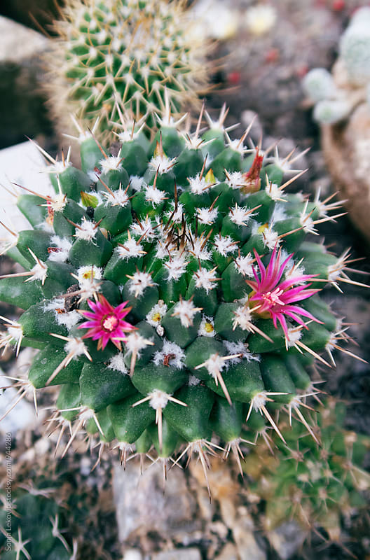 cactus with pink flowers by Sonja Lekovic for Stocksy United