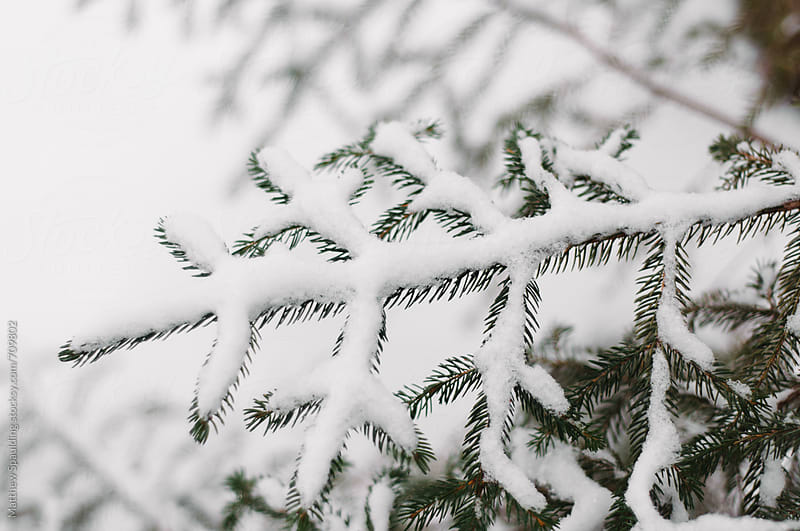 Snow covered fir tree branch by Matthew Spaulding for Stocksy United
