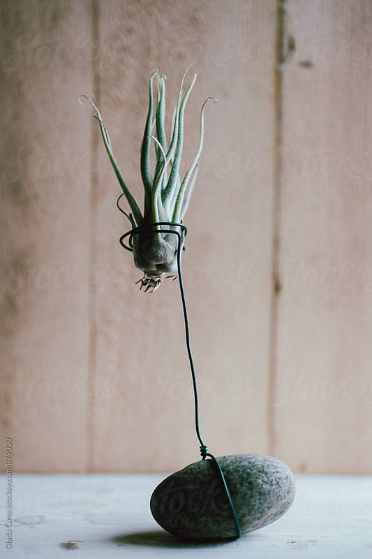 Tillandsia by Giada Canu for Stocksy United