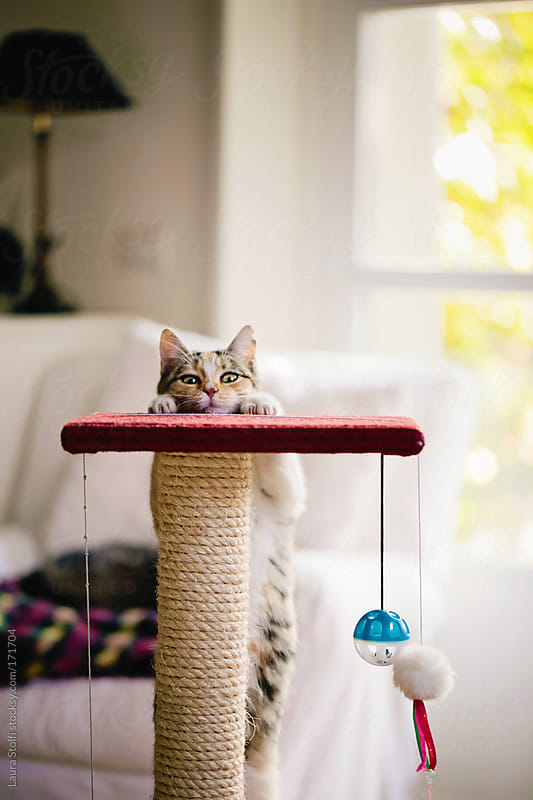 Hello there: cat playing hide and seek on scratching post by Laura Stolfi for Stocksy United