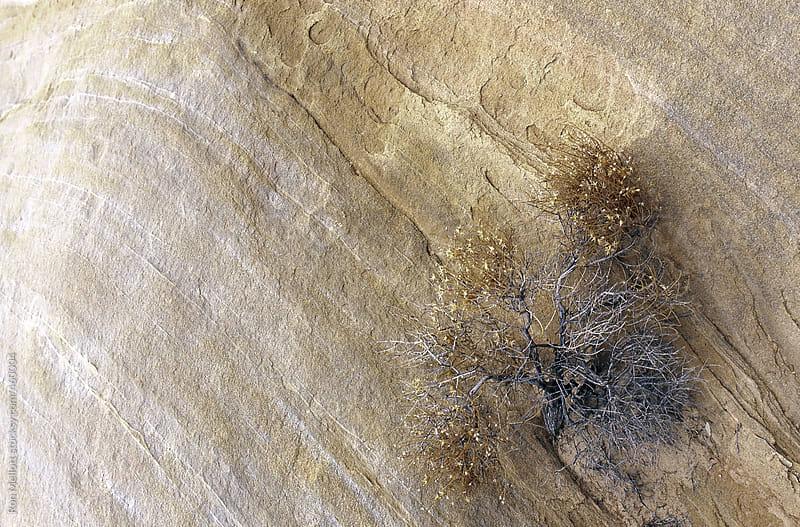 desert shrub bush clinging to a sandstone rock face in Arizona desert southwest by Ron Mellott for Stocksy United