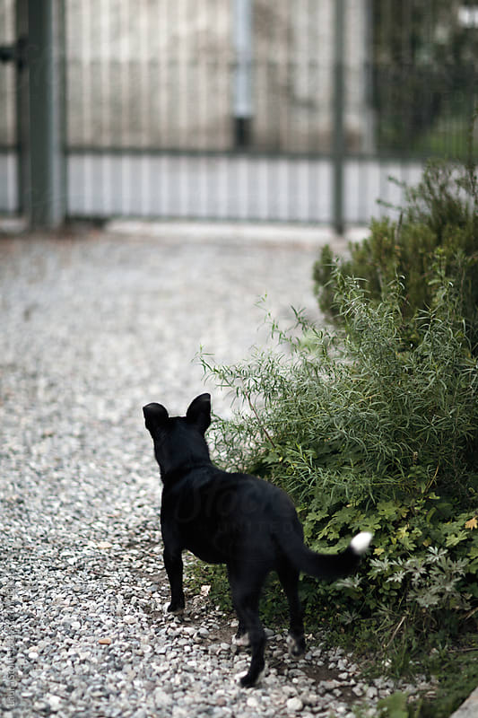 Little crossbreed black dog in front of a gate in garden by Laura Stolfi for Stocksy United