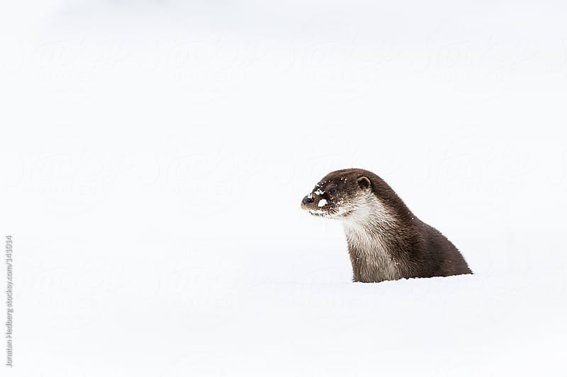 Otter playing in the snow by Jonatan Hedberg for Stocksy United