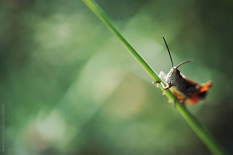 Curious grasshopper by Pixel Stories for Stocksy United