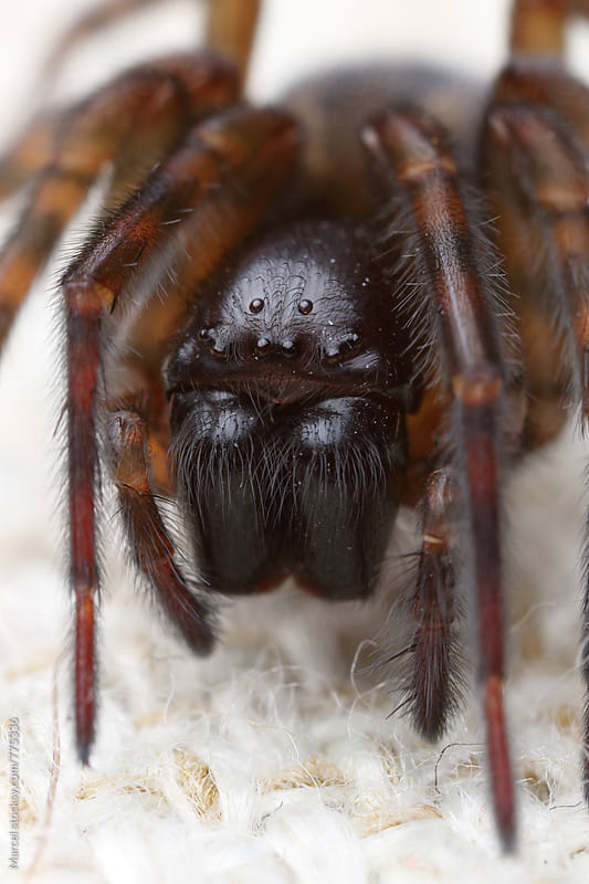 Scary hairy spider on a cushion by Marcel for Stocksy United
