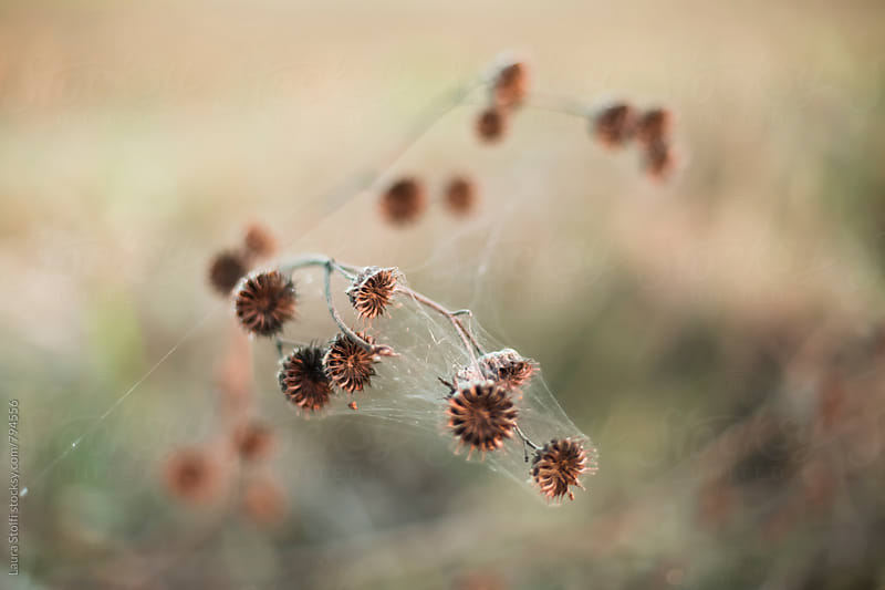 Dry wild grass and spider web in autumnal environment  by Laura Stolfi for Stocksy United