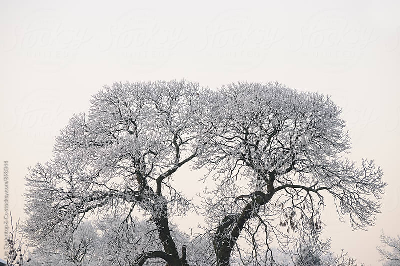 Icy lung tree by Urs Siedentop & Co for Stocksy United
