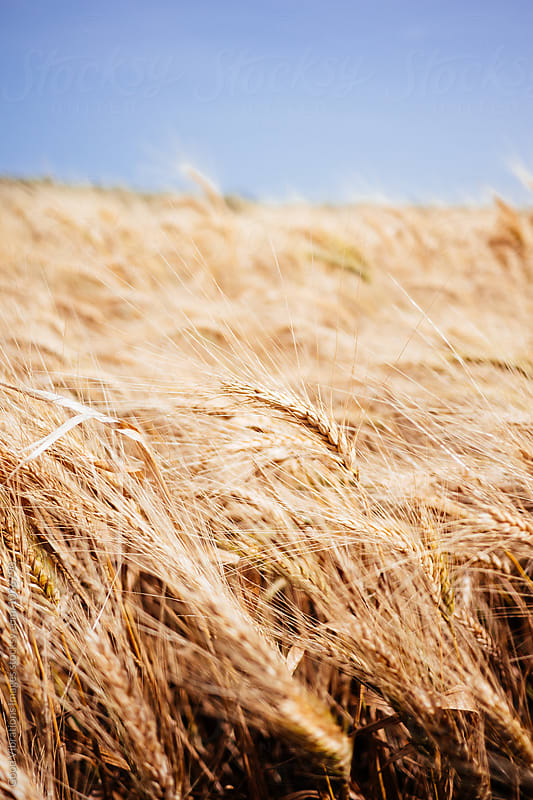 Wheat field in summer by Good Vibrations Images for Stocksy United