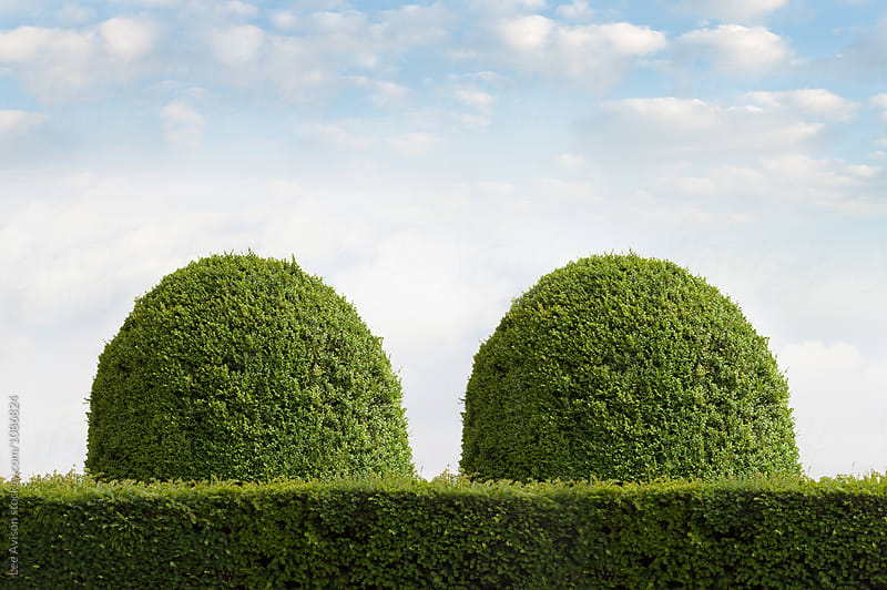clipped yew topiary in the shape of breasts  by Lee Avison for Stocksy United