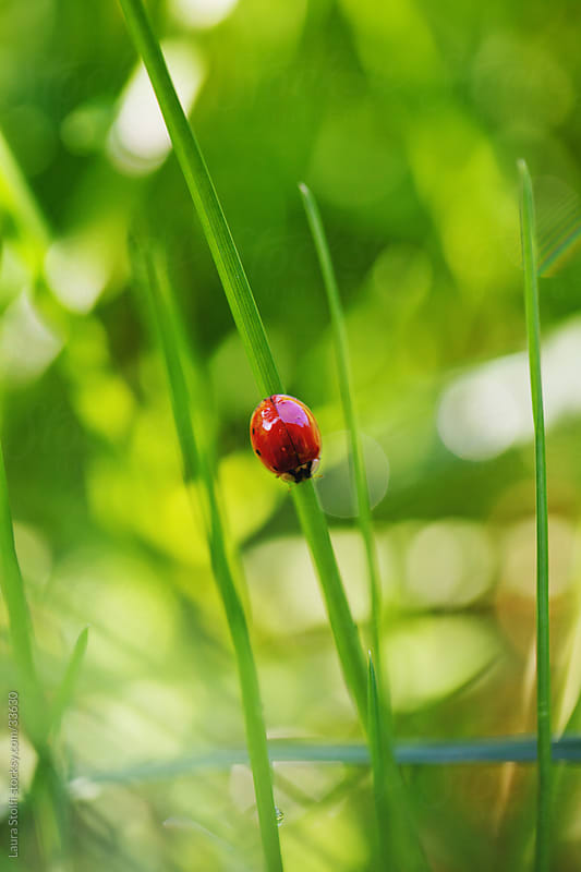 Close-up of ladybug hanging on grass blade in sunny field by Laura Stolfi for Stocksy United