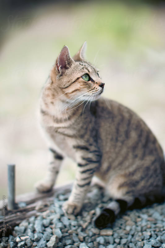 Tabby cat with green eyes by Ruth Black for Stocksy United