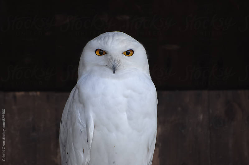 Snowy owl (Bubo scandiacus) by Gabriel Ozon for Stocksy United