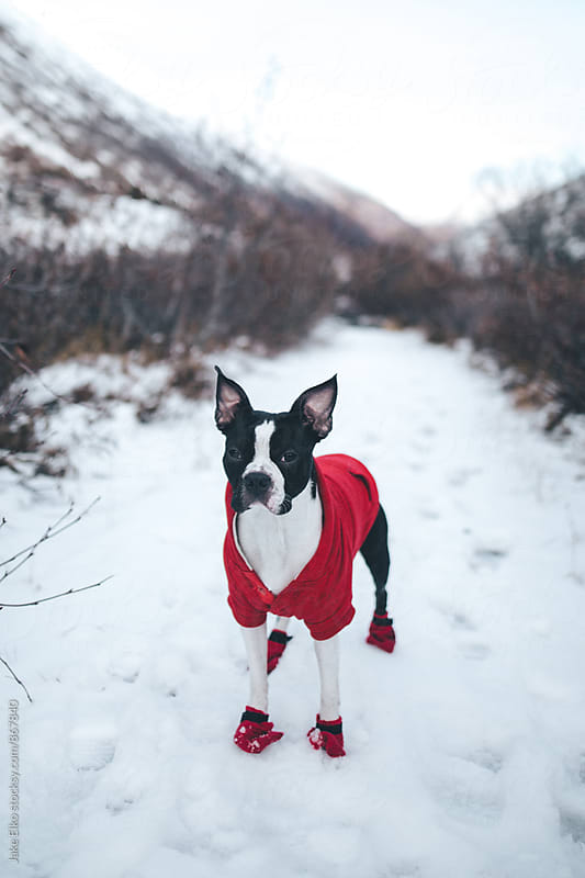 Boston Terrier Hike by Jake Elko for Stocksy United