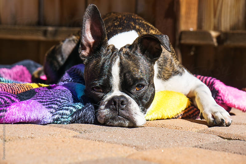 Bruce the Boston Terrier sunbathing. by Shannon Aston for Stocksy United