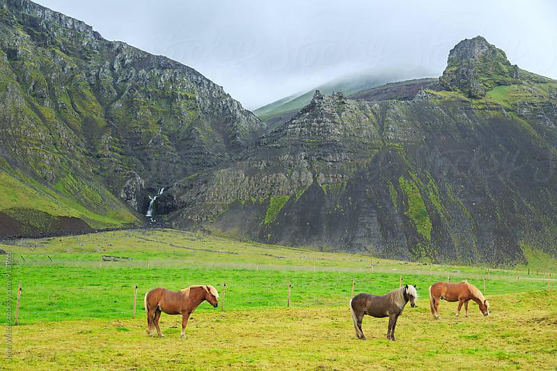 Icelandic horses. Iceland. by John White for Stocksy United