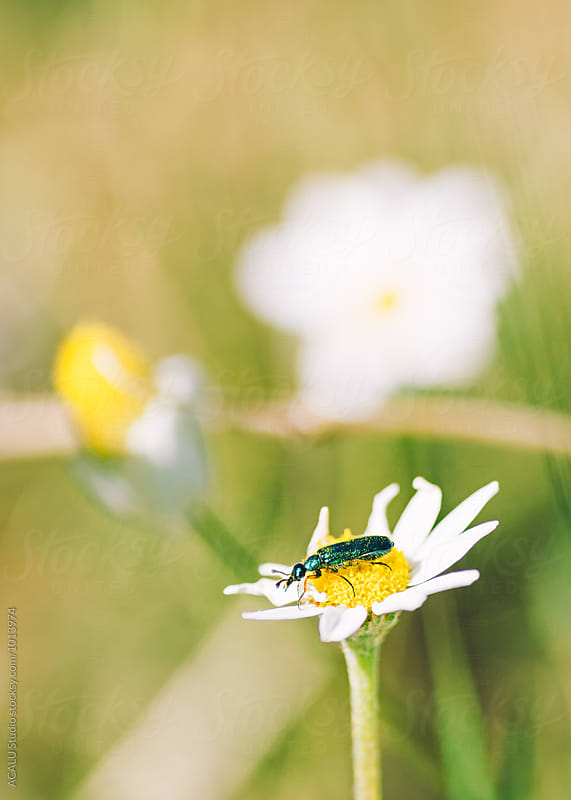 Small green beetle on a daisy by ACALU Studio for Stocksy United