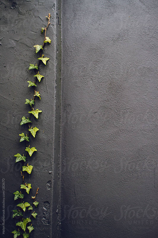 Ivy growing up a dark grey wall by Helen Rushbrook for Stocksy United