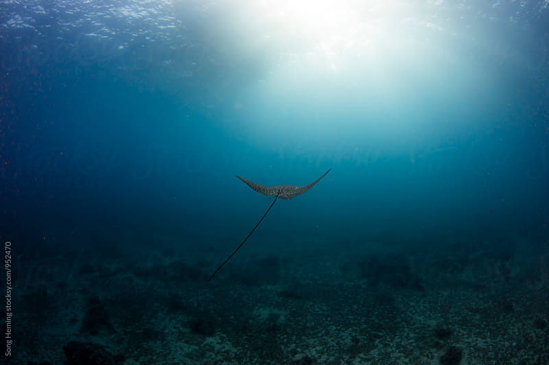 eagle ray with light ray by Song Heming for Stocksy United