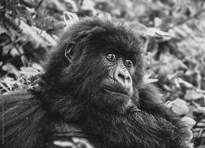 Black and white close up of a gorilla, National park, Rwanda, Afica by Jaydene Chapman for Stocksy United