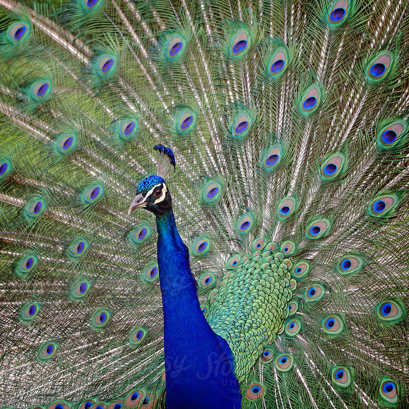 Male blue peacock in full display. by Marcel for Stocksy United