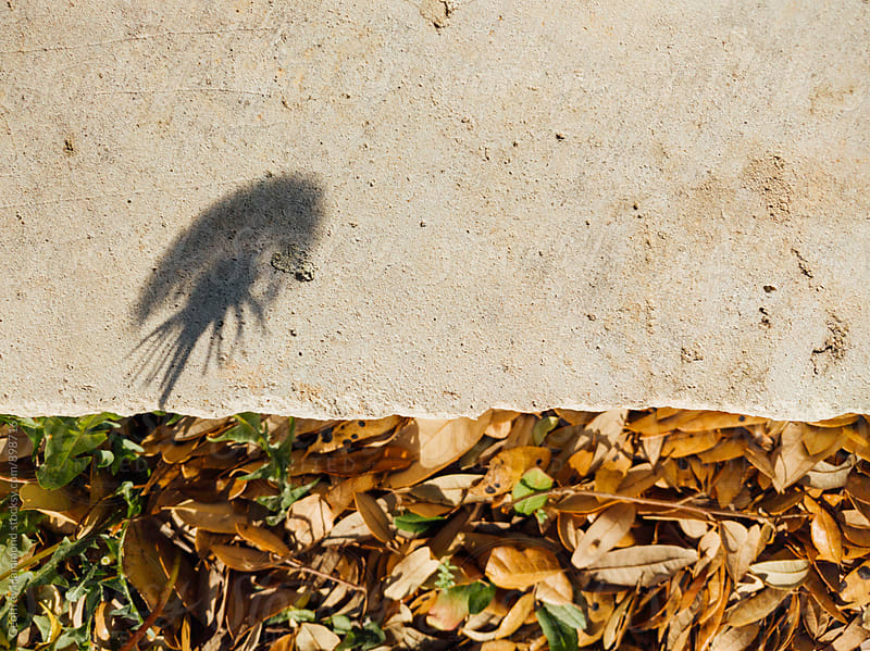 Shadow of Dandelion is Cast on Pathway in Park by Geoffrey Hammond for Stocksy United