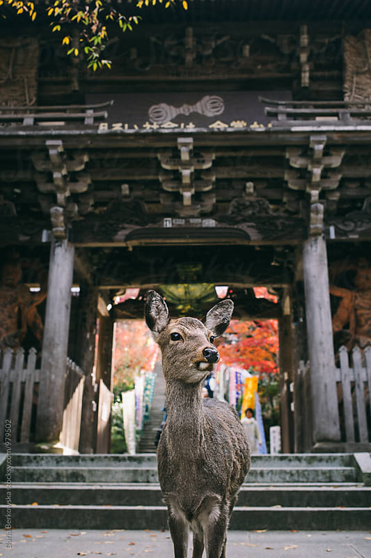 Deer in Miyajima Park, Japan by Daria Berkowska for Stocksy United