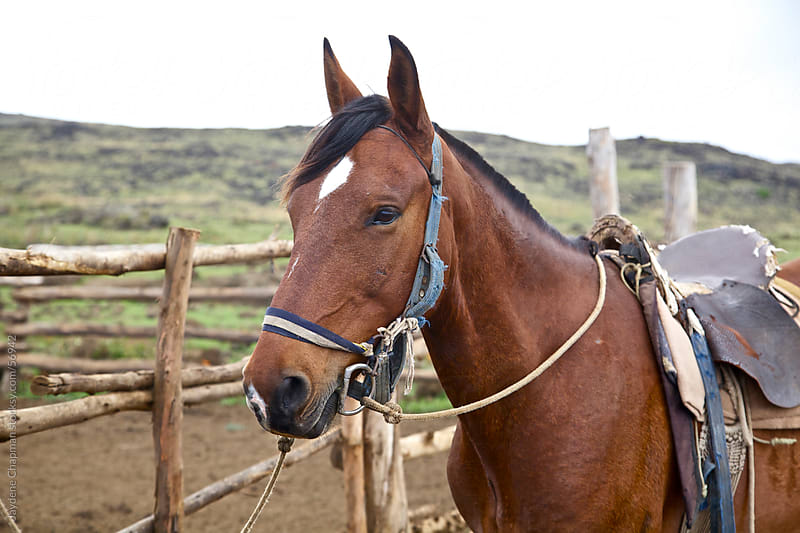 A local farmers horse tied up to a fence on a ranch, Easter Island, Chile by Jaydene Chapman for Stocksy United