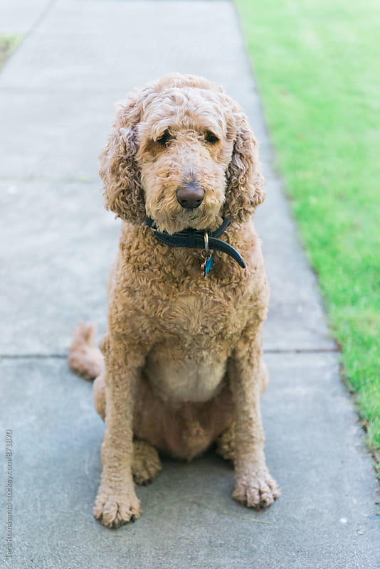 labradoodle giving a puppy dog look by Tara Romasanta for Stocksy United