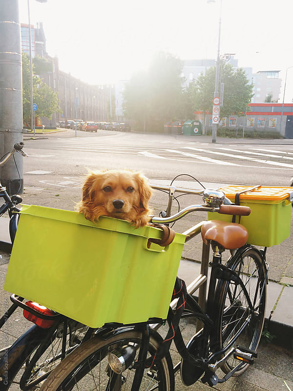 Dog sitting in the basket of a bike by Giulia Squillace for Stocksy United