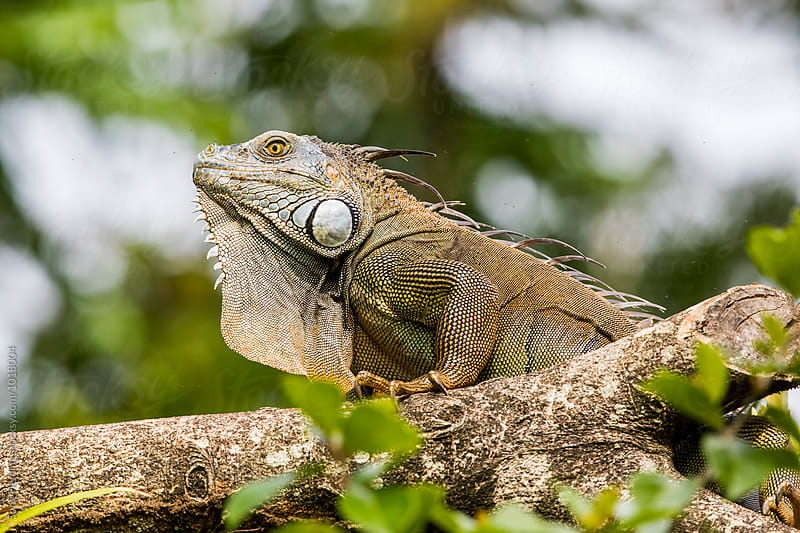 Green Iguana standing on the tree by Song Heming for Stocksy United