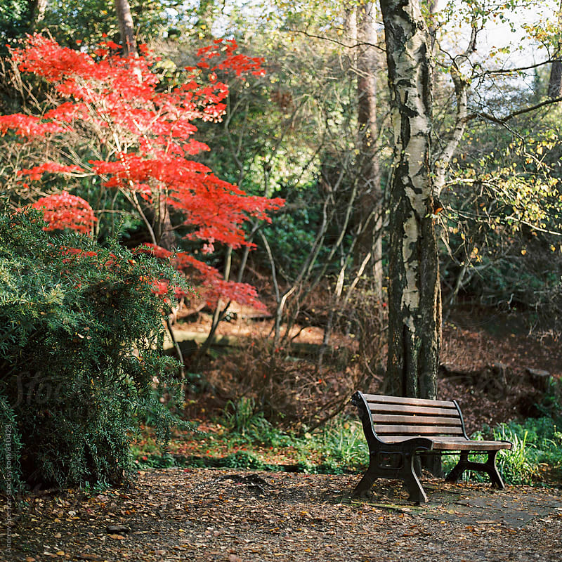 Bench overlooked by red tree by Andrew Spencer for Stocksy United