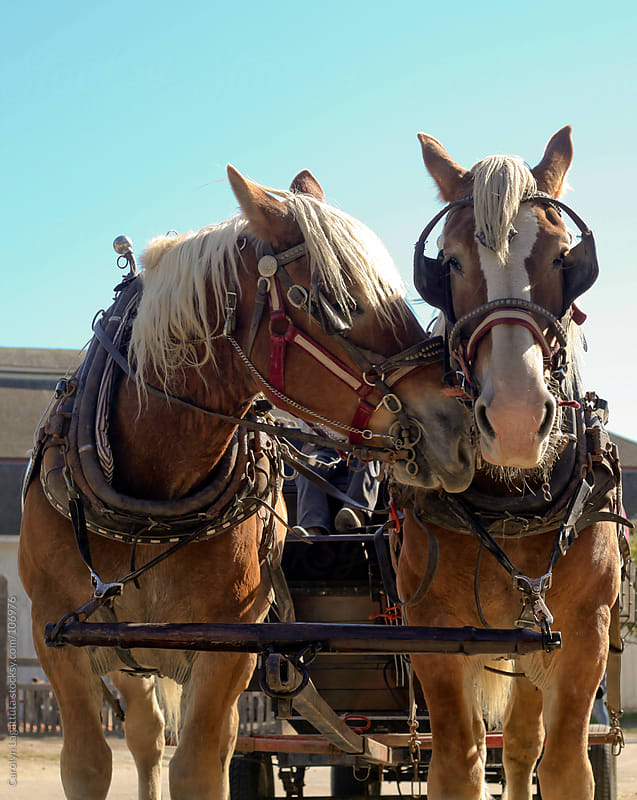 One draft horse nuzzling another by Carolyn Lagattuta for Stocksy United