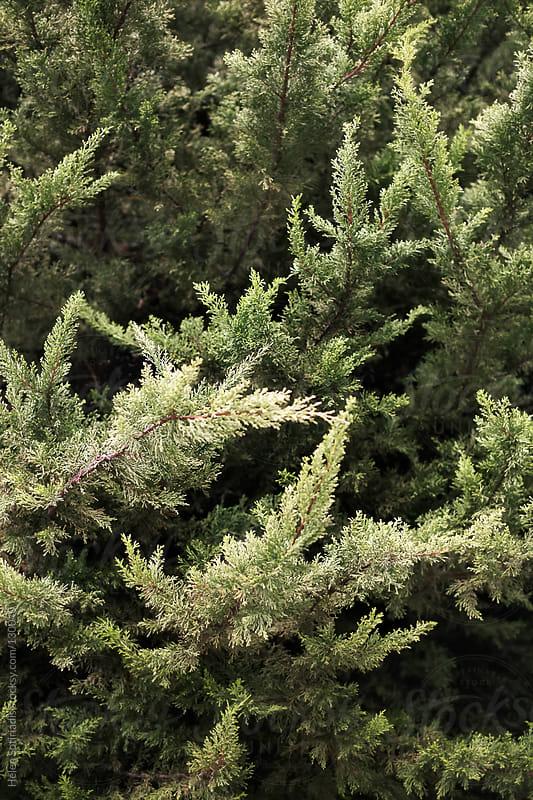 Evergreen Tree by Helen Sotiriadis for Stocksy United