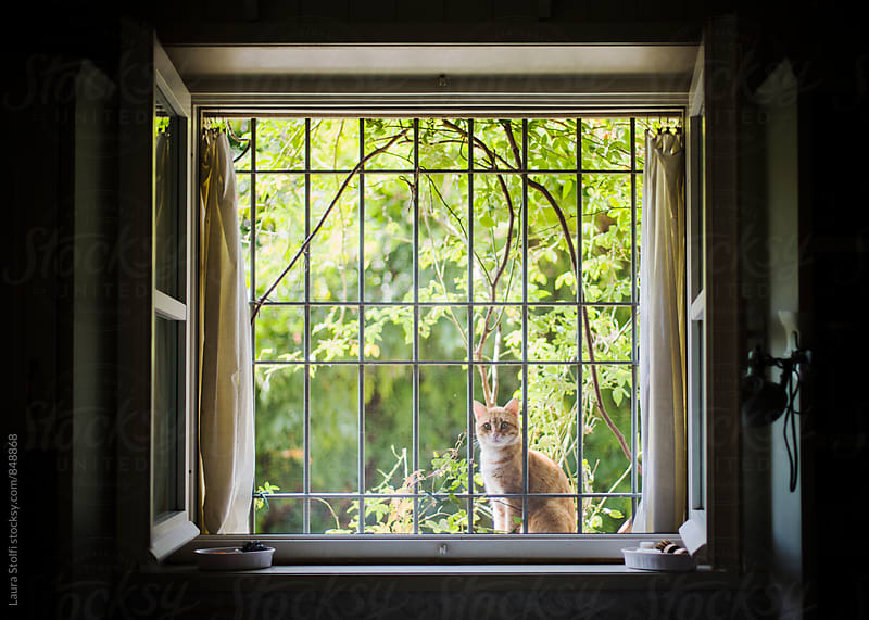 Red cat sits out of window and looks at kitchen indoor by Laura Stolfi for Stocksy United