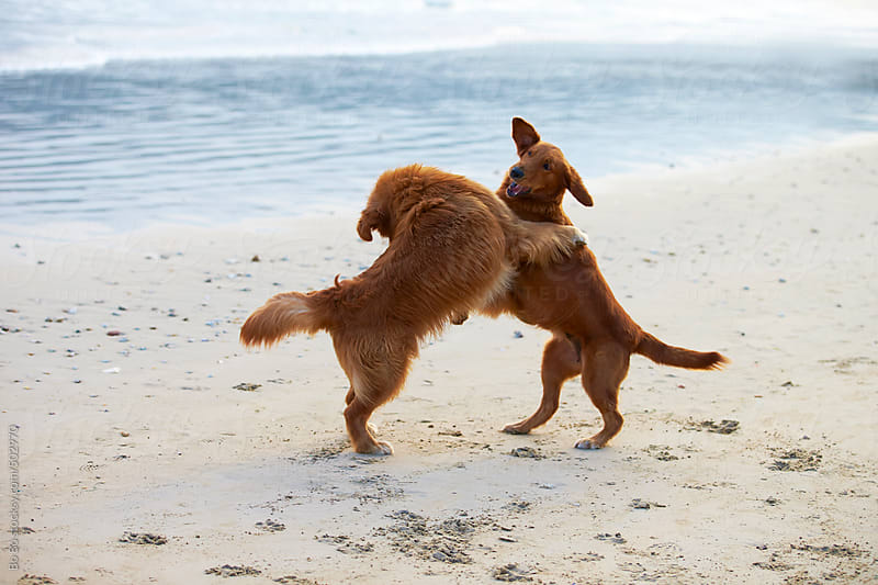 two Golden retrievers playing on the beach  by Bo Bo for Stocksy United