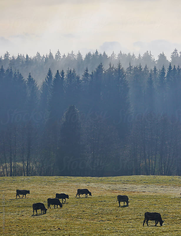 Cows grazing in a misty winter pasture by rolfo for Stocksy United