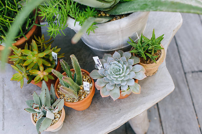 Various succulents plants at flower market for sale by Kristen Curette Hines for Stocksy United
