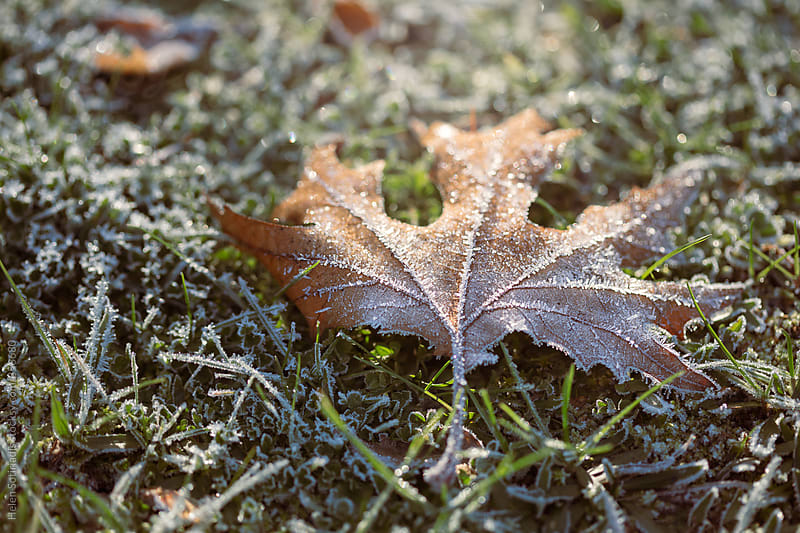 Leaf with Frost on the Grass by Helen Sotiriadis for Stocksy United