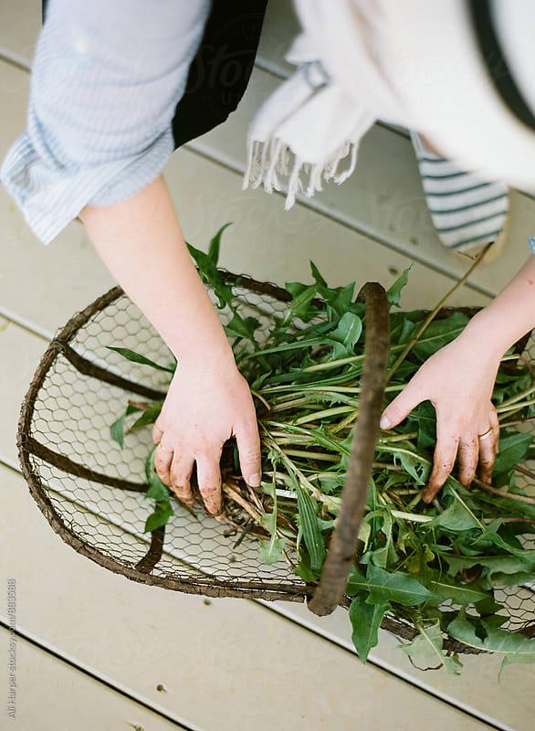 Women arranging dandelions in basket by Ali Harper for Stocksy United