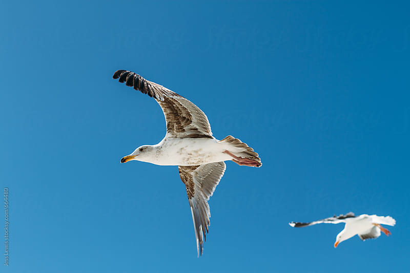 two seagulls in flight by Jess Lewis for Stocksy United