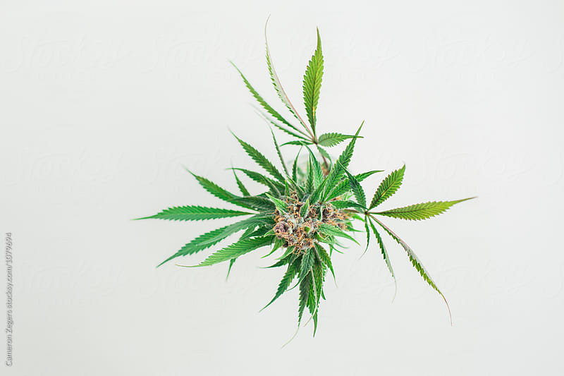 marijuana plant cutting from above by Cameron Zegers for Stocksy United