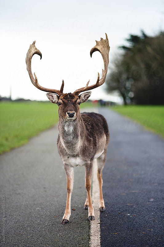 Beautiful deer in the middle of the road by Luca Pierro for Stocksy United