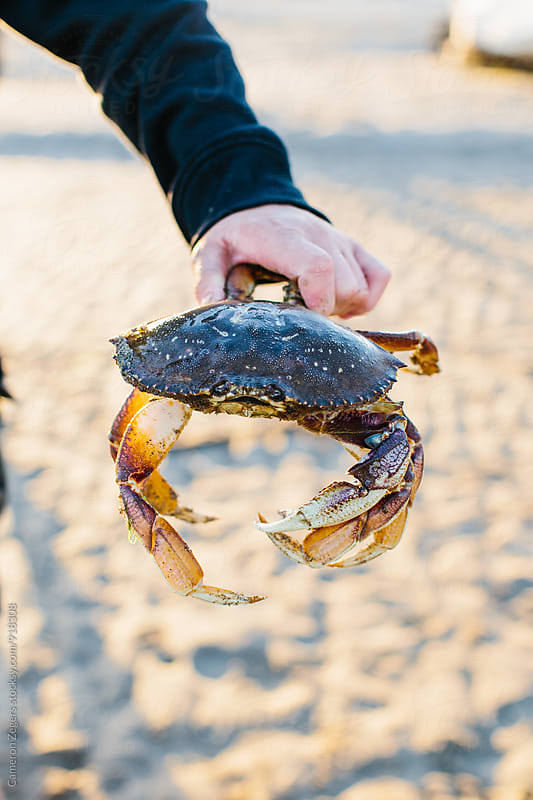 man holding crab at the beach by Cameron Zegers for Stocksy United
