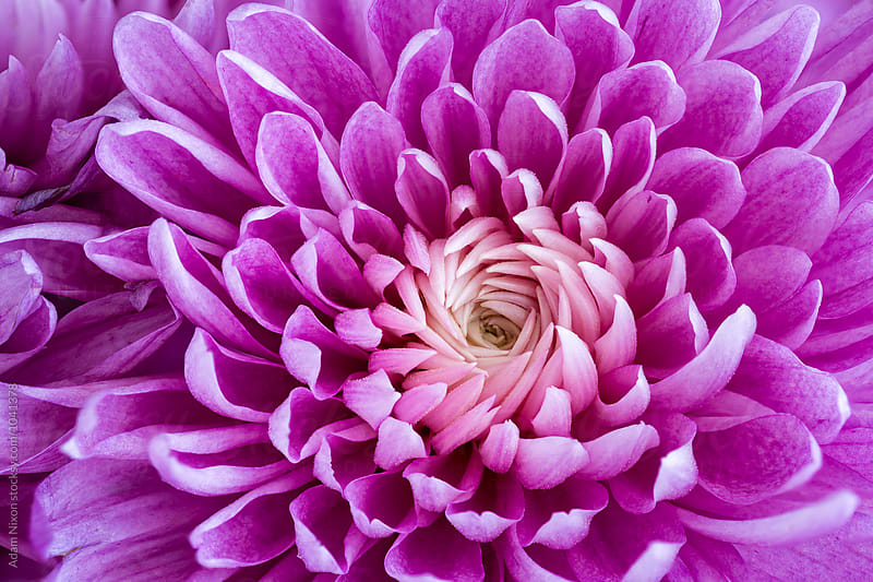 Purple daisy, macro by Adam Nixon for Stocksy United