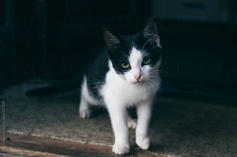 Cute black and white kitten by Jovo Jovanovic for Stocksy United